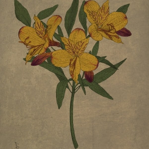 Alstroemeria, 60×90cm 400dpi Digital, Winter 2014